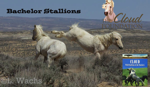 Bachelor Stallions